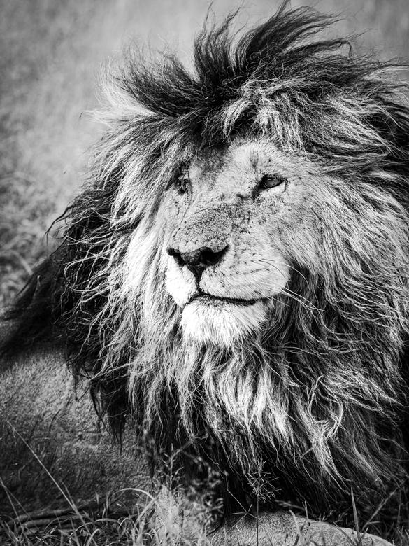 Scarface - the king of the Masai Mara - Dit is scarface, een van de meest beroemde en markante leeuwen van de Masai Mara, Kenia. Hij draagt duidelijk