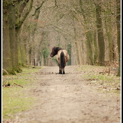 konikspaard