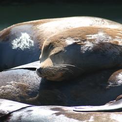 zeeleeuwen langs highway 1, usa