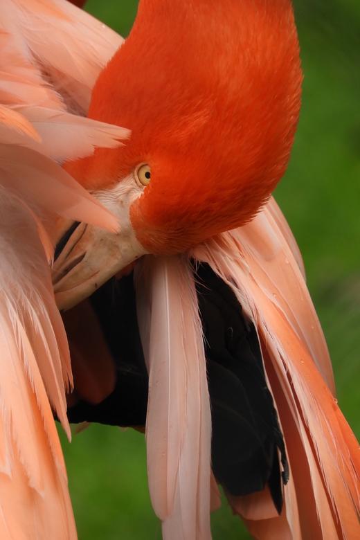 Cubaanse flamingo - De rode flamingo of Cubaanse flamingo komt voor van de zuidoostelijke staten en Florida van de Verenigde Staten tot de noordelijke