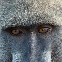 Oog in oog met een baviaan.