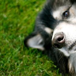 Amerikaanse wolfhond