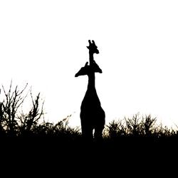 Drie-koppige giraffe