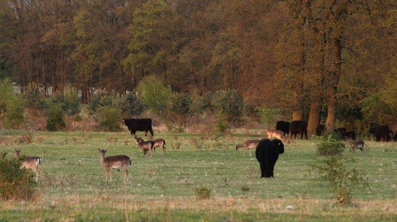 Avondwandeling - Gisteravond er nog even op uitgetrokken naar een natuurgebied bij Rhenen.<br /> In dat gebied (bos/heide) leven veel reeen, konikpaa