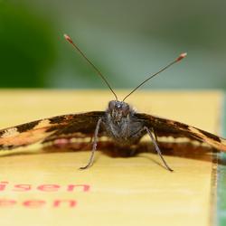 Veeleisende vlinder