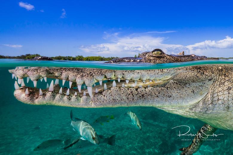 Zoutwater krokodil - Deze zoutwaterkrokodil werd in de mangroves van Cuba (Jardines de La Reina), gefotografeerd.  Het is een enorme ervaring om op ce