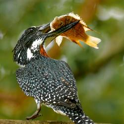 Giant Kingfisher met grote vis