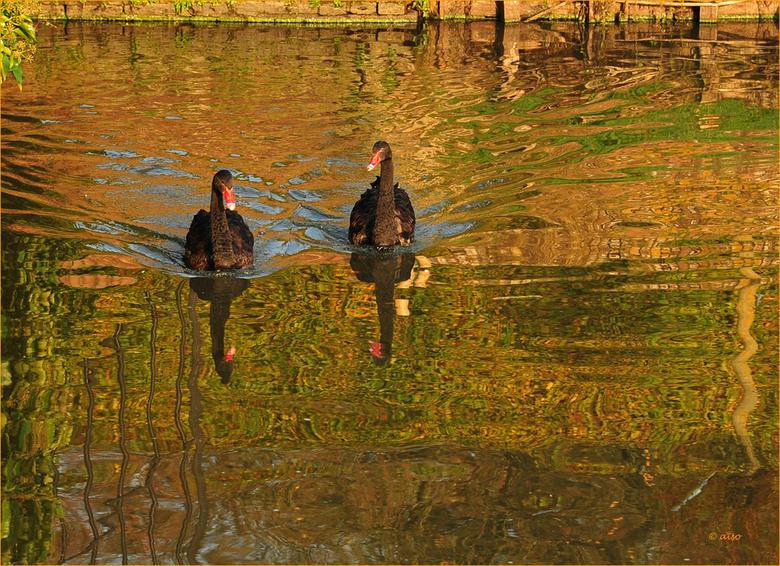 De zwarte zwanen bij de Menkemaborg - voelen zich al helemaal thuis in de gracht rondom de borg.