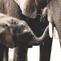 Olifanten jong eet bij moeders