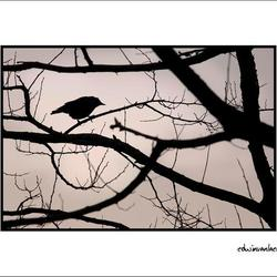 the evening bird