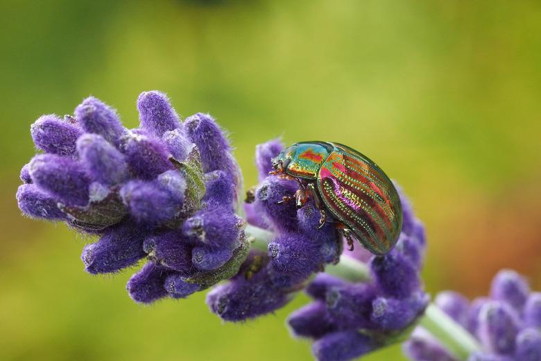 Rozemarijngoudhaantje  - Rozemarijngoudhaantje Chrysolina americana op Lavendel
