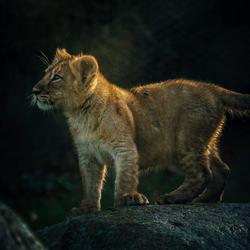 Asian lion cub ..