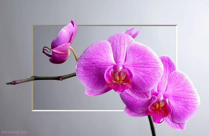 orchidee -