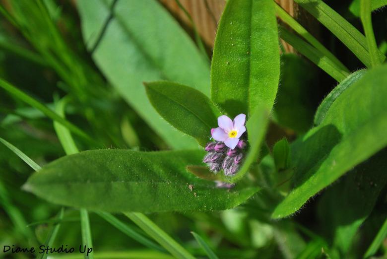 Vergeet me niet... - Een zo&#039;n klein bloemetje tussen de knoppen in het groen... zo kwetsbaar en toch zo mooi. Ik word er bijna filosofisch van!<b