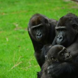 Dierentuin Chimpansee