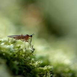 Predatory fly