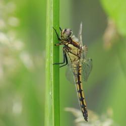 Libelle met 3,5 vleugel en een halve poot