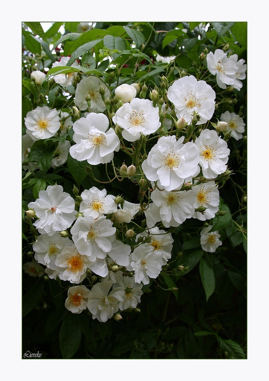 zonder woorden - witte roosjes voor Dendermonde.......