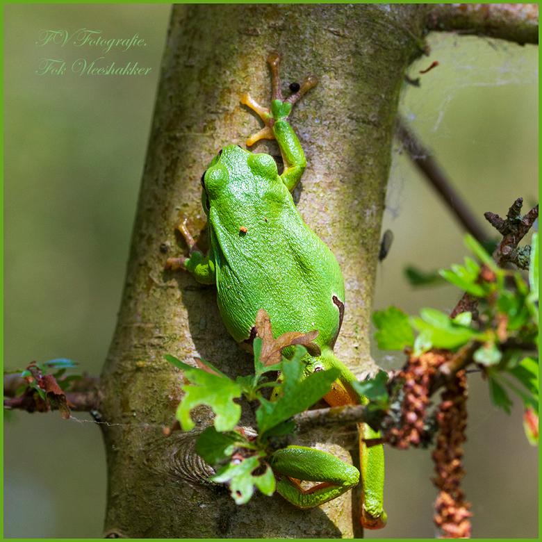 boomkikker - Wat zijn dat prachtige dieren de boomkikkers. Vandaag in de AWD geweest om ze te fotograferen