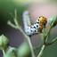 Helmkruidvlinder rups (Shargacucullia scrophulariae)