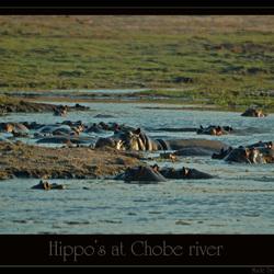 Hippo's at Chobe River