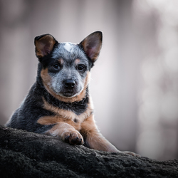 Adorable puppy Qays