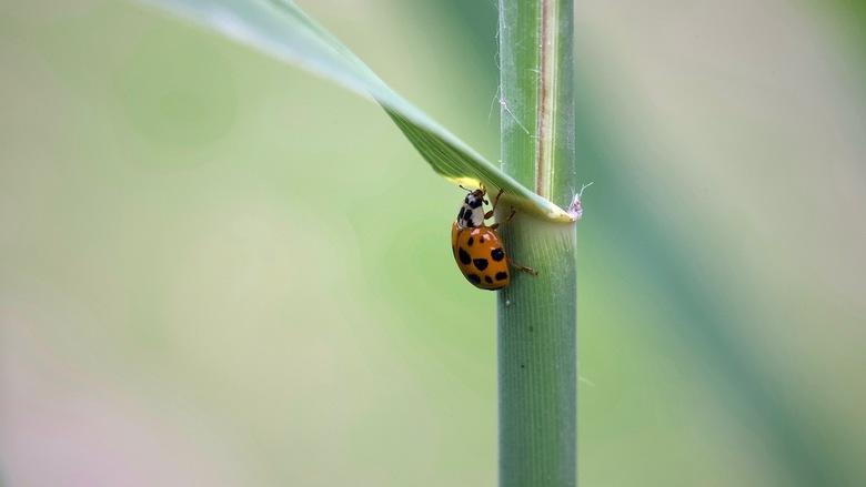 Lieveheersbeestje. Series insecten. -