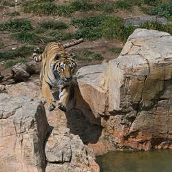 bengaalse tijger bijna in het water
