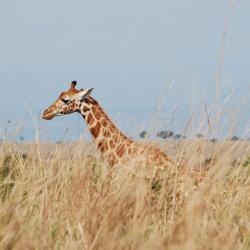 giraffe in het hoge gras