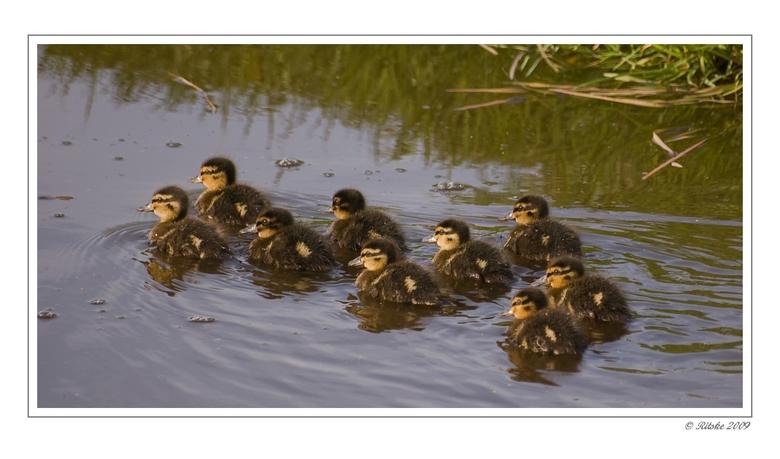 Formatiezwemmen. - Zo kom je er negen, strak in formatie zwemmend, tegen. Een dag later nog drie, dat is ook natuur.<br /> In het vroege voorjaar, bi