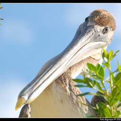 Maffe vogel