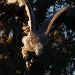 Condor in vlucht.
