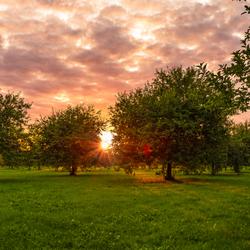 Zonsondergang in een appelboomgaard