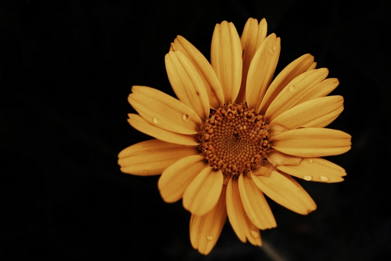 The yellow flower in the rain - -