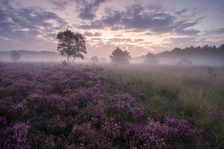 Purple Haze - Hoewel ik geen ochtendmens ben begint het toch te kriebelen als de heide in bloei staat. Dus na in het weekend een nieuwe locate verkend