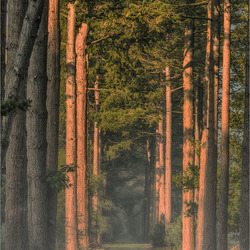 Dennenlaan in het Stropersbos.....