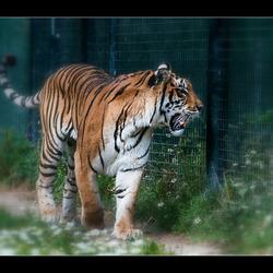 even tijgeren