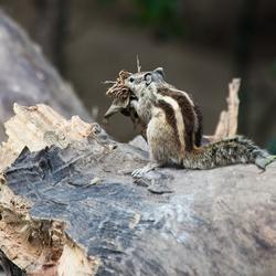 Eekhoorn met nestelmateriaal.