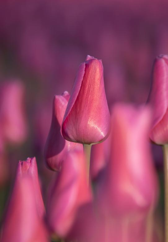 Paarse tulp - Deze paarse tulpen hebben lang gestaan, geweldig kleurrijk veld en prachtige tulp.