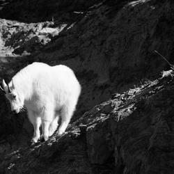 Suicide Goat
