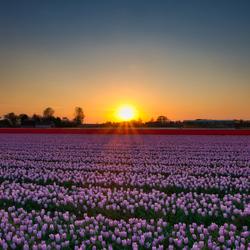 Zonsondergang en tulpenvelden