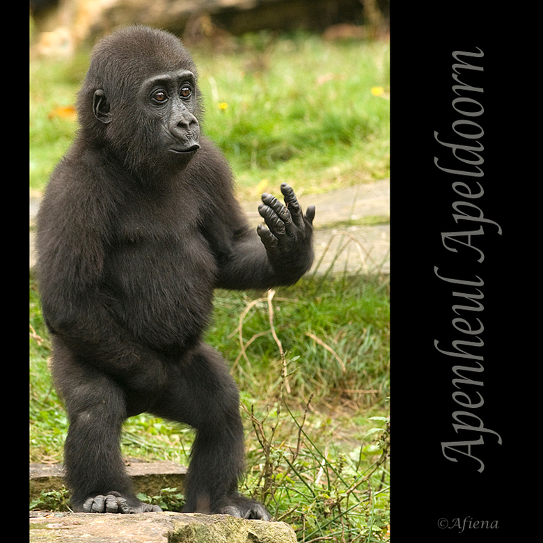 oei oei oei..... - ...dit aapje stal de show met zij gekke capriolen afgelopen zaterdag in de apenheul!<br /> Iedereen bedankt voor de reactie op mij