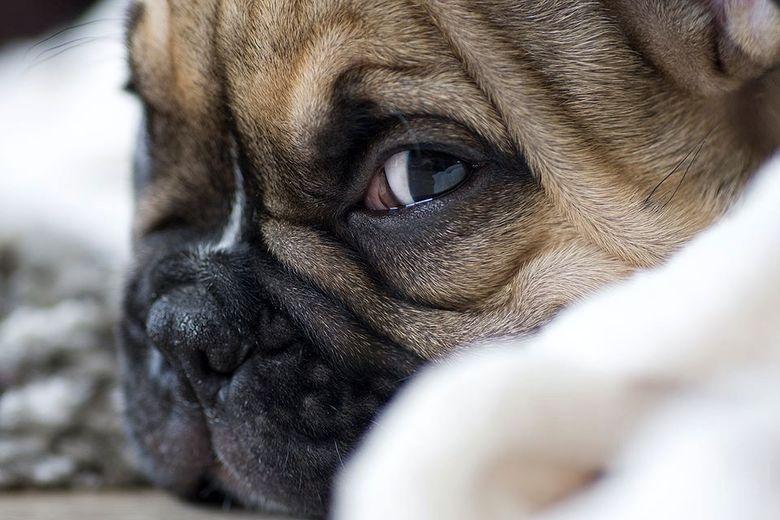 Grunkie! - Onze Franse Buldog pup: Grunkie..