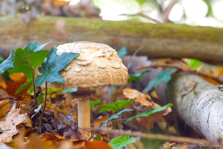 Eenzame paddestoel - Deze jongen stond helemaal alleen in het bos.<br /> Daarom dacht ik, laat ik heb gezelschap houden door een mooie foto van hem t