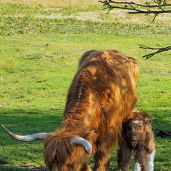 Schotse hooglander, moeder en kalfje
