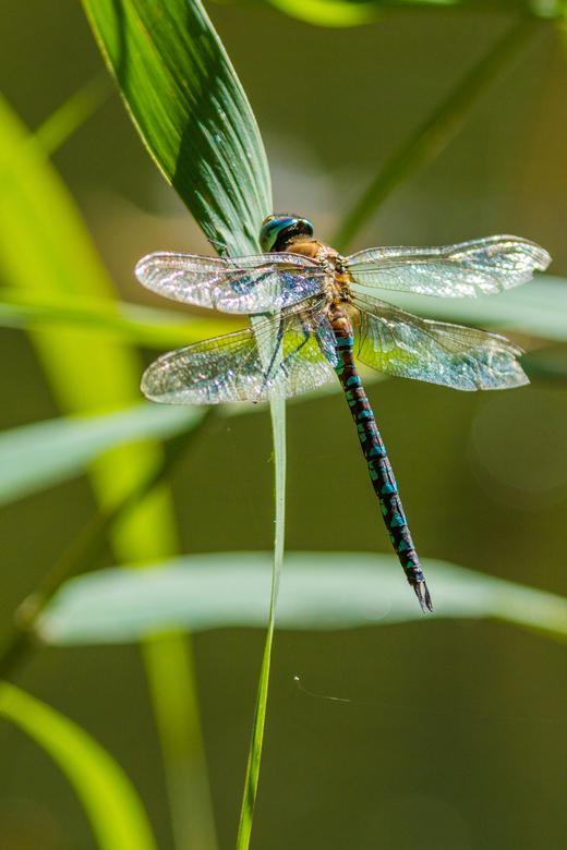 dragon fly - libel op een blad