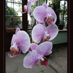 Bewerking: orchidee