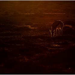 Springbok in laatste zonlicht