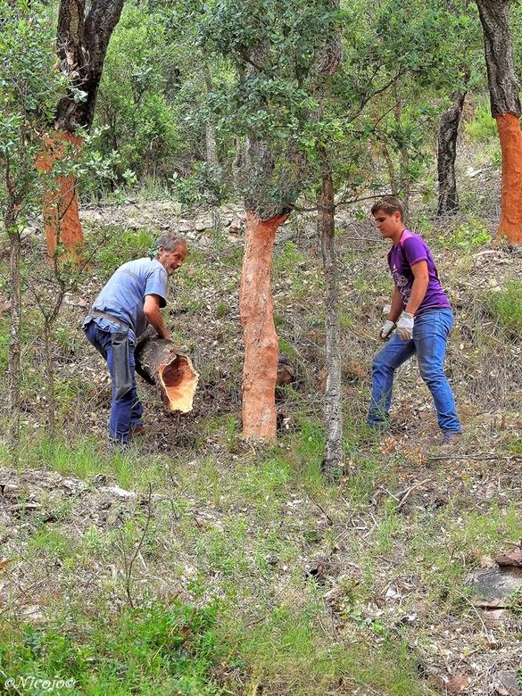 Oogst kurk van de kurkeik.... - De kurkeik is een wintergroene boom, die van nature in Portugal en Spanje voorkomt. Zijn bijzondere kwaliteit is dat h