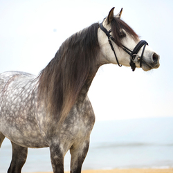Spaans paard bij zee